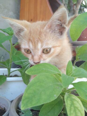 Девочка, рыжая карамелька. Возраст 2 месяца. Активная, ласковая