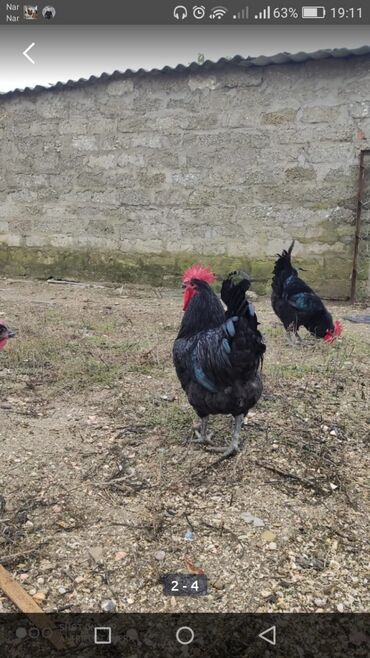 Животные - Ленкорань: Птицы