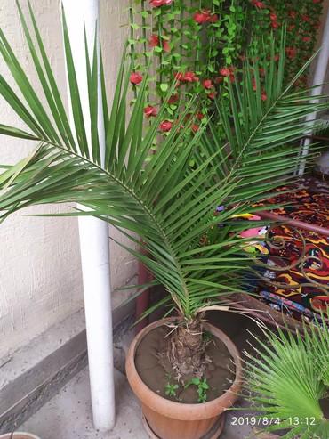 Семена и уличные растения - Кара-Балта: Продаю домашние пальмы. ВАШИНГТОН И ФИНИКОВЫЕ. в горшках