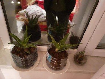 bitki guli - Azərbaycan: Aloe Vera Əzvay bitki Ta qədimnən bu bitki ilə həm maskalar hazırlanıb