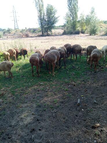 Животные - Чон-Далы: Продаю 1 большой арашан кочкор 2,5 года 55 000 и 2 кочкорика по 6 мес