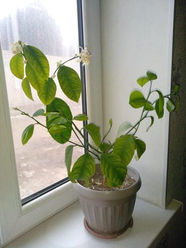 Комнатные растения в Кок-Ой: Домашний лимон