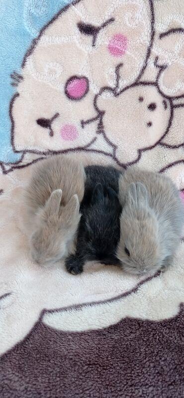Декоративные кролики - Кыргызстан: Продаются декоративные кролики ! Выбор большой .Взрослые и малыши