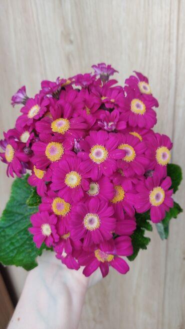 Комнатные растения - Кыргызстан: Цинерария цветущаяВ наличии всего 3 штуки!!!В свежем профессиональном