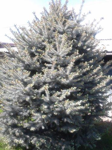 Продается голубая европейская ель в Лебединовка