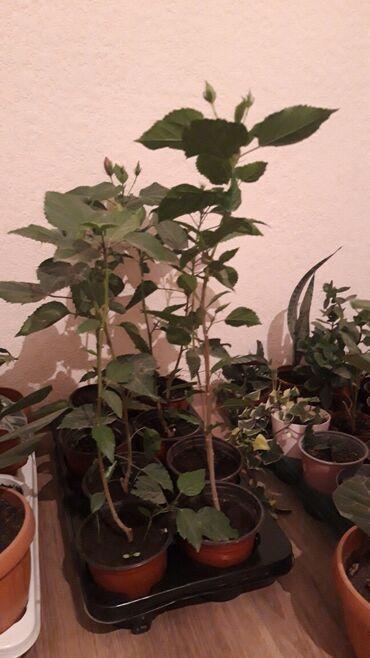 Другие комнатные растения - Кыргызстан: Гибискус красный оранжевый цвет 60 70см 400с
