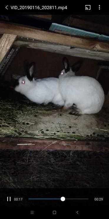 Декоративные кролики - Кыргызстан: Продаю   Калифорния только парой!!2 года. цена за обоих 2700 торгуемо