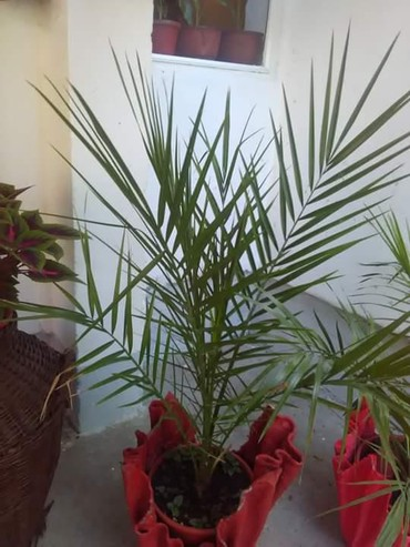 Ostalo za kuću | Negotin: Palma sa saksijom