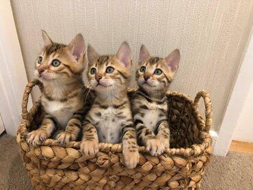 Όμορφα γατάκια της Βεγγάλης έχουμε ένα πανέμορφο σκουπίδια με 4 υπέροχ