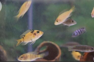 guppi baliqlari - Azərbaycan: Salam aleykum. Multikolor, fire fish ve alunakara baliqlari satilir