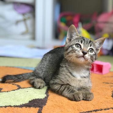 Pişiklər Azərbaycanda: Домашний котенок, девочка, 2 месяца, бесплатно в добрые руки