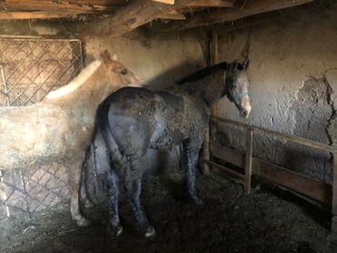лошади бишкек в Кыргызстан: Байланган Кунан чыкмалар сатылат 600сом
