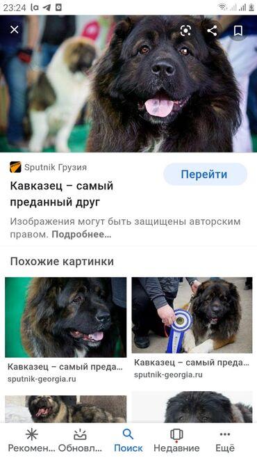 Отдам даром собаку кавказская овчарка,чисто сторожевая возраст