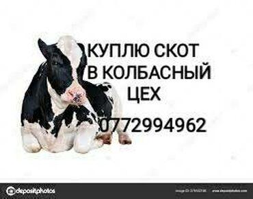 вакцины для животных в Кыргызстан: Куплю скот в любом виде на забой. В любое время. Приедем сами