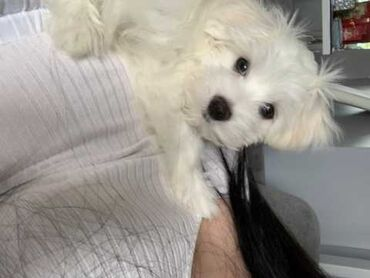 Fly e310 attitude - Srbija: Maltese Puppies AvailableOur beautiful Maltese Puppies are ready to