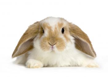 Prelepi mladi i zdravi patuljasti zečevi,veliki izbor zečića, više v - Beograd