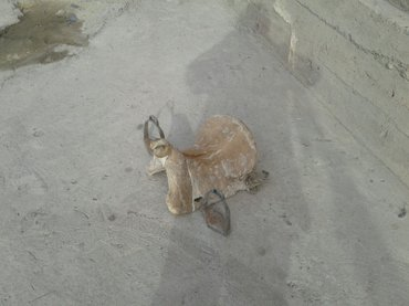 Ээр сатылат.Балыкчы ш.тел:0702 89 50 55 в Бишкек
