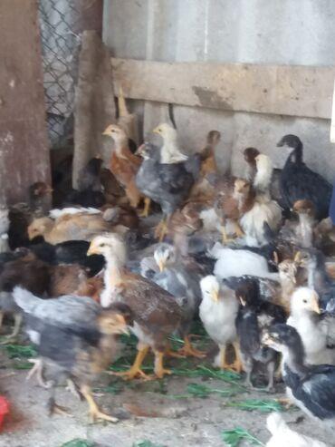 Животные - Гавриловка: Продаются цыплята месячные ухоженные, красивые. Порода кучинские