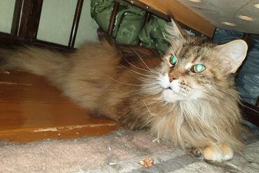 Продам 2 кошки породы Мейн-кун. Животные взрослые 10 и 7 лет