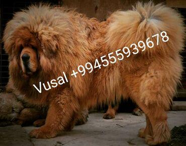 yay üçün kişi üst geyimləri - Azərbaycan: Sifariwle xaricden Yuksek Keyfiyyetli Tibet Mastifi balalari getirilir