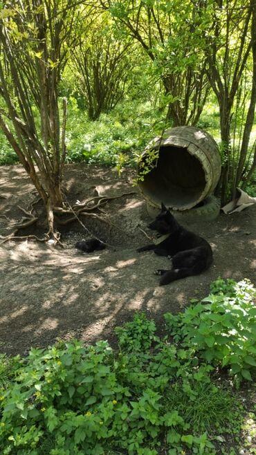 nemes avcarkasi - Azərbaycan: Nemes Avcorkası balası,bir cüt dişi bala qalıb