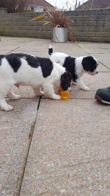Κουτάβια Beagle έτοιμα να γνωρίσουν τους νέους ιδιοκτήτες τους  Έχουμε