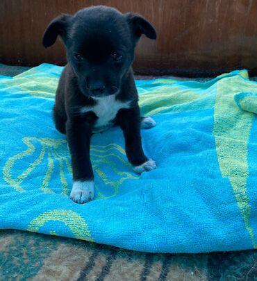 Собаки - Кыргызстан: Фонд помощи животным Добрые руки, ищет добрые руки для щеночков. Две д