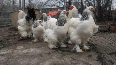 Продаю | Инкубационные яйца | Брама, Кохинхин