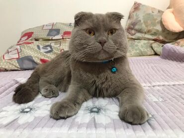 шотландский кот на вязку в Кыргызстан: Шотландский вислоухий кот 🐈 на вязку. Породистый все необходимые