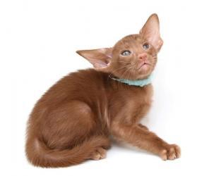домашние котята в Азербайджан: Ориентальные котята    Ориентальные котята. Мальчики и девочки. Зареги