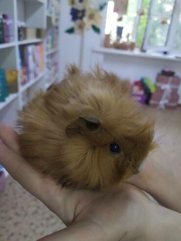 Морские свинки - Кыргызстан: Очень милая морская свинка ей 1.5 месяцов, и очень игривая и приучена