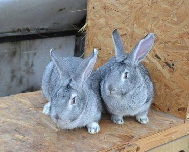 кролики бишкек in Кыргызстан   ДЕКОРАТИВНЫЕ КРОЛИКИ: Кролики на забой живым весом, Цена за 1 кг кролика, каждый кролик