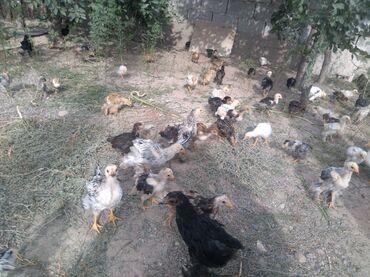 Животные - Бирдик: Продаю домашних цеплят 2 и3 месец цена договарная