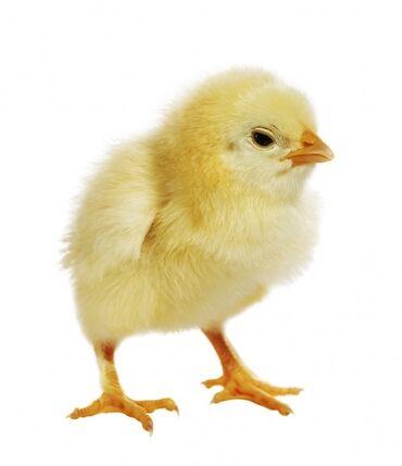 Продаю | Куры, Петух, Цыплята | Домашняя