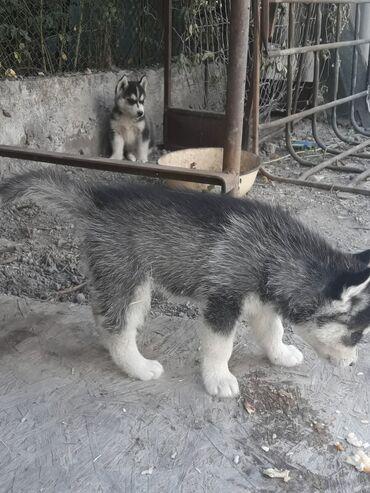 Животные - Селекционное: Продаю чистокровный хаски, 1.5 месяца, остались 1 мальчик и 1 девочка