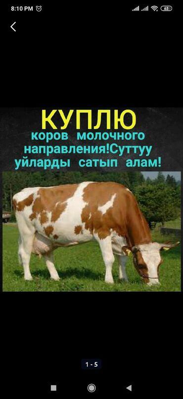 Куплю высоко дойную корову для себя. С хорошей родословной.Срочный