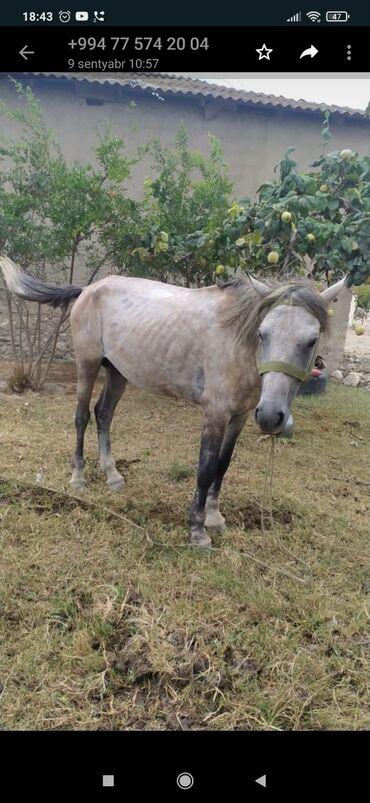5 elan | HEYVANLAR: At satılır şekilde pis düşüb erkeydi 3 yaşı var yorgadi baxanı yoxdu