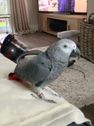 African grey great parrot his name is Buddy he 2 years old very clever σε Achaea