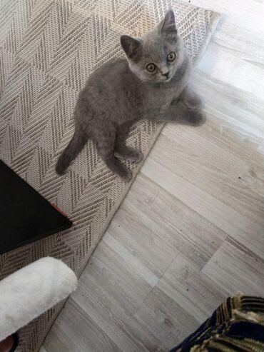 Продаются чистокровные котята шотландской породы скотиш страйт коротко