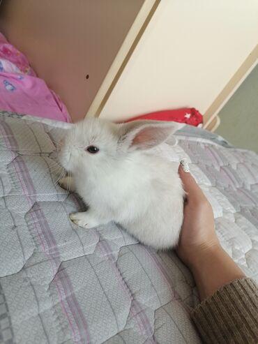 Грызуны - Кыргызстан: Продаётся декоративный кролик