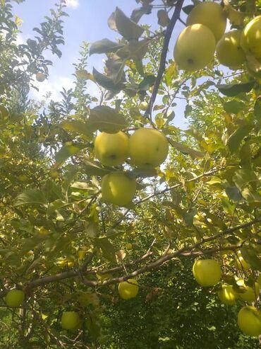 131 объявлений: Голден . яблоки
