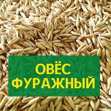 индюк цена за кг в Кыргызстан: Овёс в Бишкеке. Продаю фуражный Овёс цена за КГ в Кыргызстане. Сулу