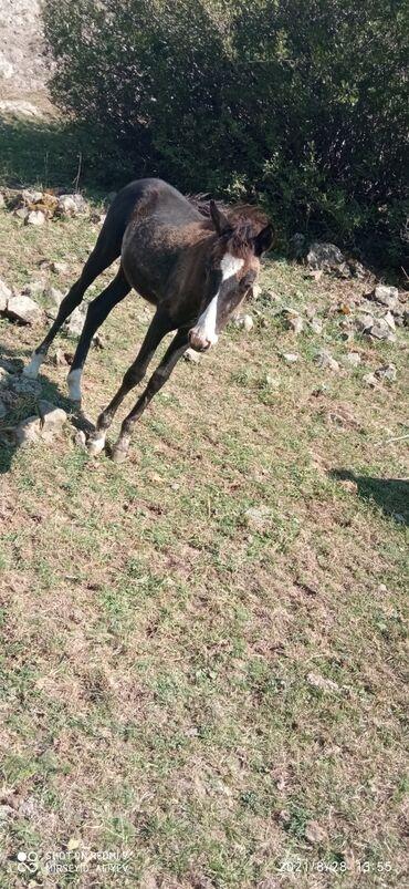 22 elan | HEYVANLAR: Atası Qarabağ atıdır