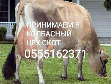 Прием скота и прием мяса в КОЛБАСНЫЙ ЦЕХ ДОРОГО без посредников
