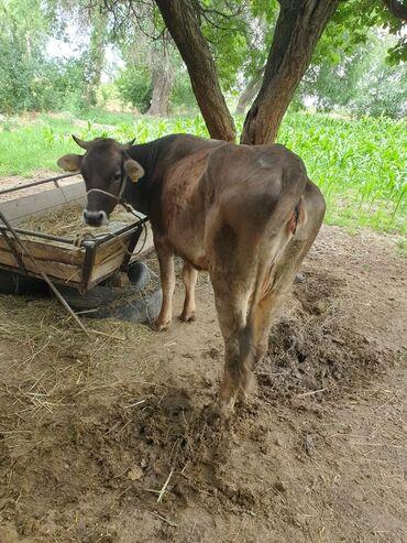 Животные - Шевченко: Коровы, быки