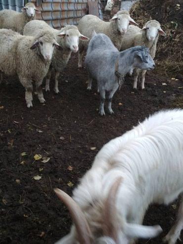 Продаю кочкоров по 7 мес. мериносов в Кант