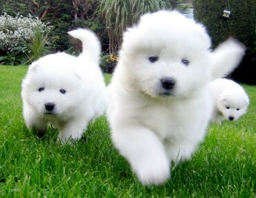 Htc one e9 brown gold - Srbija: 12 weeks old Samoyed puppies for your home they are friendly and have