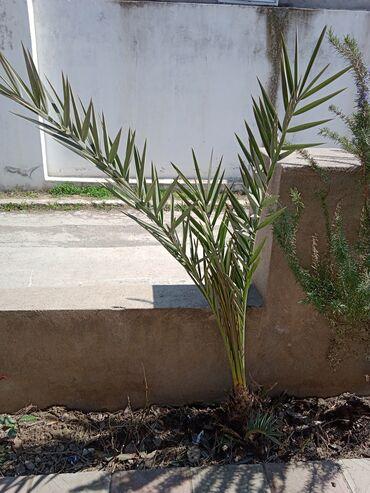 Otaq bitkiləri - Azərbaycan: Palma və Şam ağacları