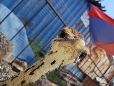 элевит 2 цена бишкек в Кыргызстан: Продаю 2,5 месячных страусят африканской пароды рост достигает 60 см