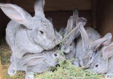 Г.Талас. крольчатам 1.5 месяц. (если Реклама стоит значит
